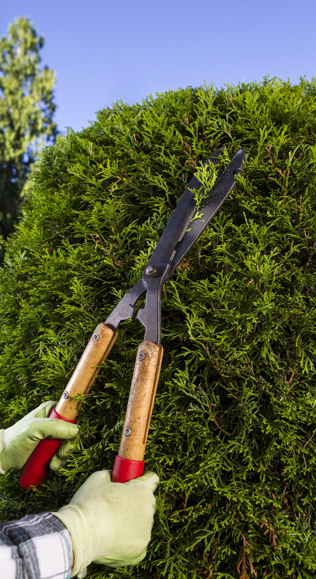 Hands Trimming the Hedges with Large Cutting Shears